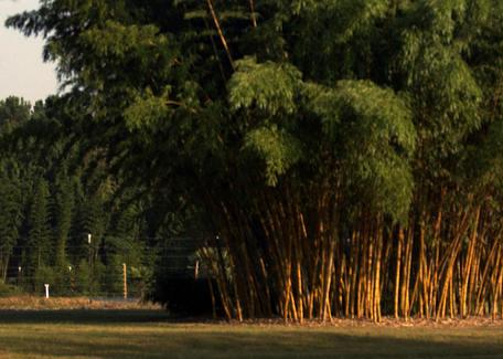 Aranyfényű Kínai bambusz Phyllostachys vivax Aureocaulis