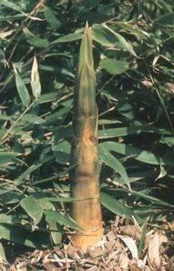 bambusz rügy