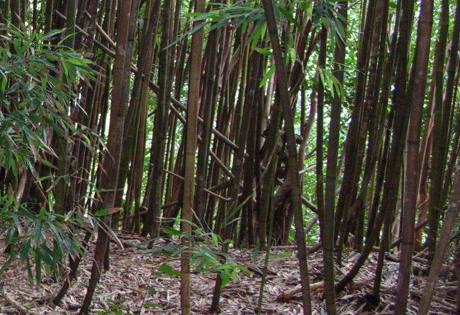 Wiandt Kertészet cikk Fekete bambusz