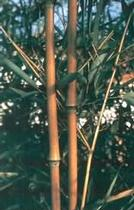 Phyllostachys humilis bambusz