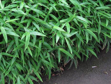 Wiandt Kertészet Kertészeti cikk Sasa tsuboiana bambusz