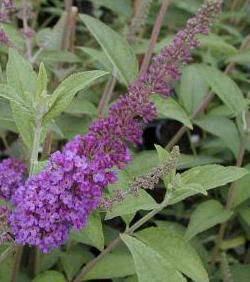 Virágos cserjék kúszónövények talajtakarók sövénycserjék