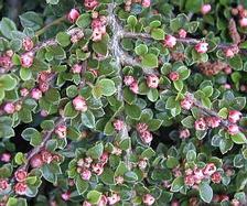 Madárbirs - Cotoneaster horizontalis levél