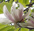 Magnolia soulangeana - virág