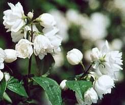 Phyladelphus - Jezsámen Virág