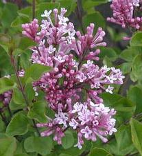 Syringa - Orgona virág
