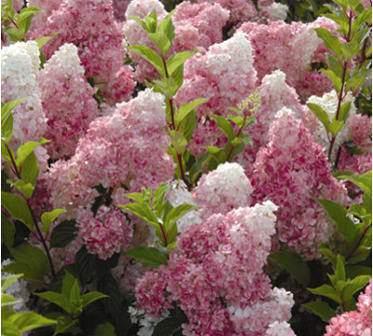 virágos cserjék, bugás hortenzia virágok