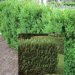 Örökzöld puszpáng Buxus sempervirens