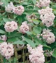 Deutzia Pink Pompom - Teltvirágú gyöngyvirágcserje