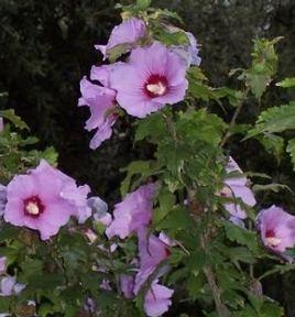Mályva, Mályvacserje virágok