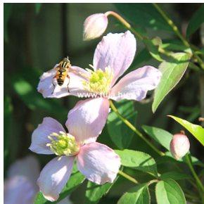 Wiandt Kertészet cikk Iszalag metszése