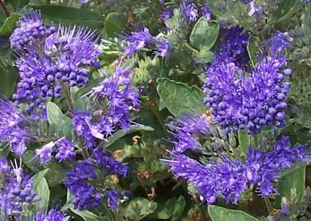 Kékszakáll, Forrás: Patrick Standish, Flickr