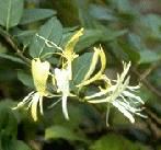 Lonc - Lonicera japonica Haliana virág