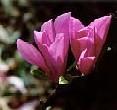 Magnolia - virág