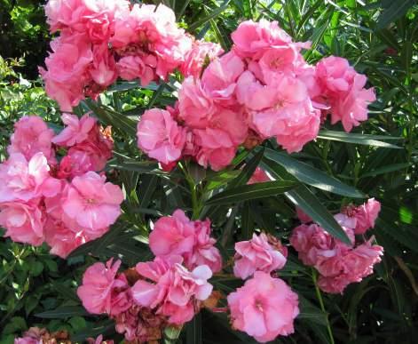 Leander, Nerium oleander