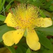 Orbáncfű virág