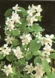 Phyladelphus virginalis virág