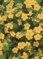 Potentilla fruticosa Goldfinger