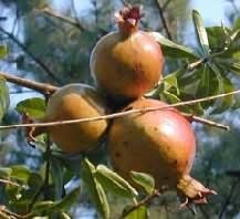gránátalma termés