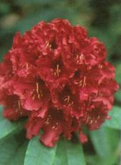Rhododendron Nova Zembla - virág