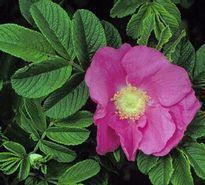 Rosa rugosa - Japán rózsa