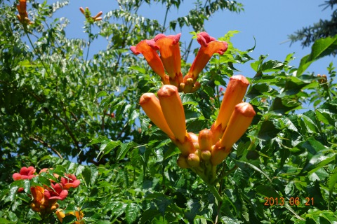 Trombitafolyondár virág