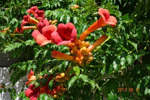 Trombitafolyondár virágok