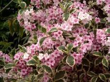 Rózsalonc - Weigela virág