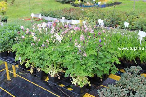 Wiandt Kertészet cikk Harangláb, Aquilegia