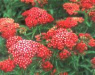 Cickafark virág