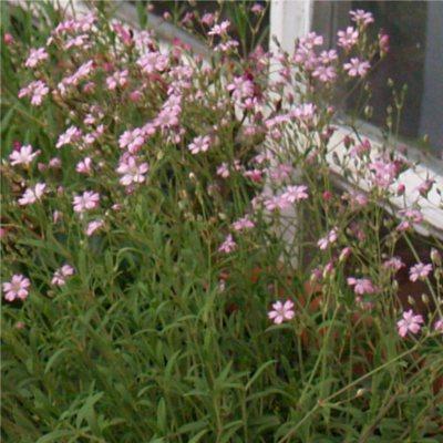 havasi fátyolvirág virágok