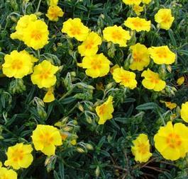 Napvirág Helianthemum télizöld levelű törpecserje