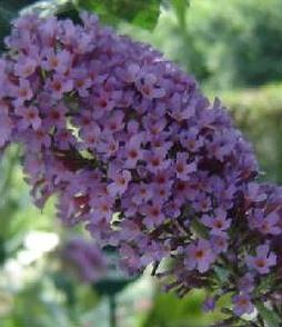 nyáriorgona virág