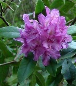Ketaba havasszépe, Rhododendron catawbiense