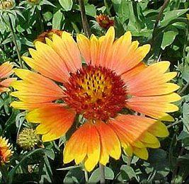 Wiandt Kertészet cikk Évelő kokárdavirág
