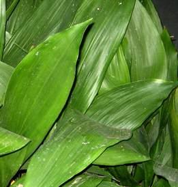 Kukoricalevél
