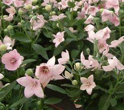 rózsaszín léggömbvirág