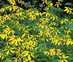 Magas kúpvirág - Rudbeckia laciniata