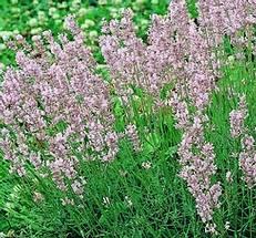 rózsaszín virágú levendula