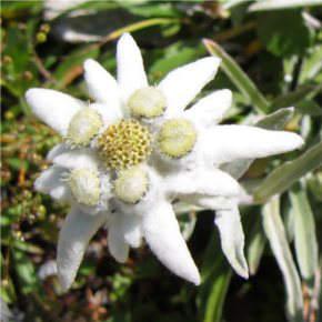Havasi gyopár - Leontopodium alpinum
