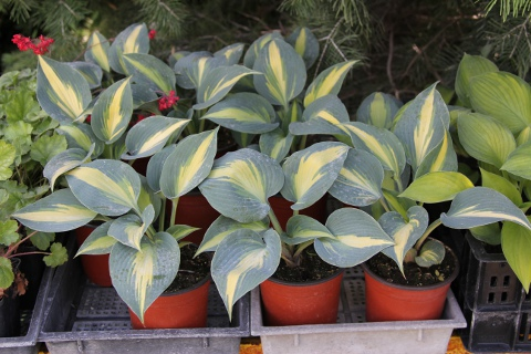 Hosta Catherine