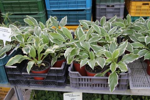 Hosta helonioides-albopicta