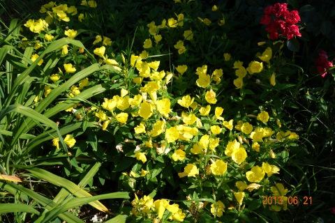 Ligetszépe virágok