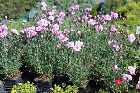 Tollas szegfű - Dianthus
