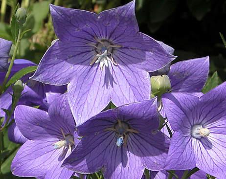 Wiandt Kertészet cikk Léggömbvirág Hírharang Óriás harangvirág