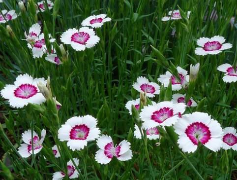 Mezei szegfű, Dianthus deltoides
