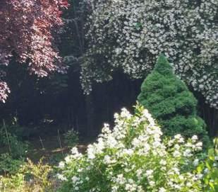 Fák Díszfák selyemakác tulipánfa páfrányfenyő bükkfa díszalma fajták leírása