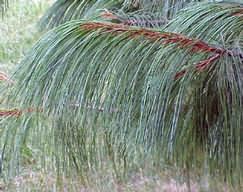 Pinus wallichiana - Himalájai selyemfenyő