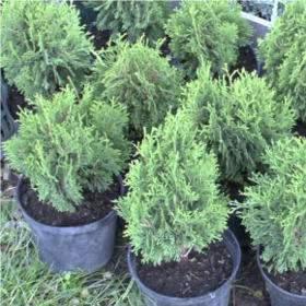Fenyőfa katalógus tuja tiszafa boróka 32 fenyő fajta