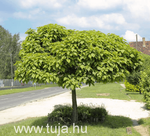Gömb szivarfa